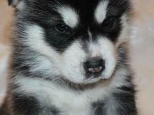 Alaskan Malamute Pup