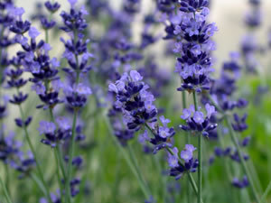 Lavendel P7 Pot 24 stuks