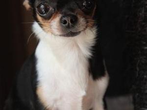 Om prachtige pups te geven Chihuahua